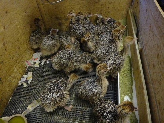 Saint-Eustache, Canada: Baby ostriches