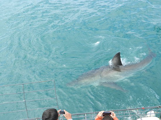 Shark Cage Diving South Africa: As they loaded the divers into the cage