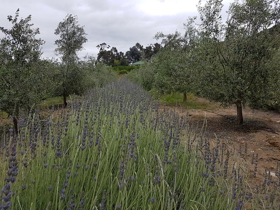 Robertson, Южная Африка: Lavender in bloom and ready for distilling !