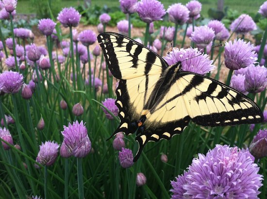 Keene, NY: Swallowtail Butterfly on Chives