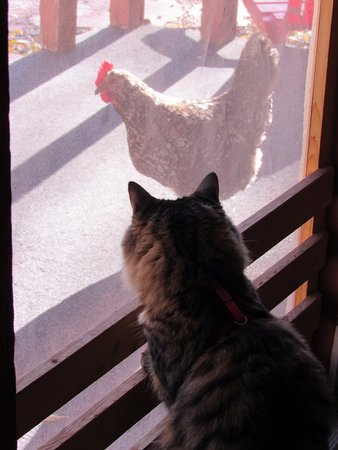 Spruce Lodge: My cat met one of the local chickens when we checked in
