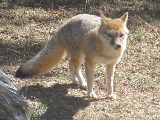 Divide, CO: Swift Fox
