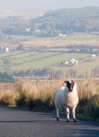 Greencastle, İrlanda: Sheep ahead