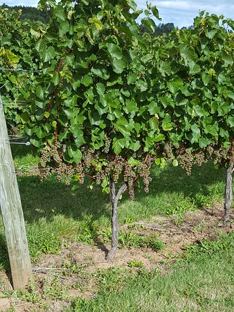 Newport Landing, Canada: Vines at Avondale Sky Winery