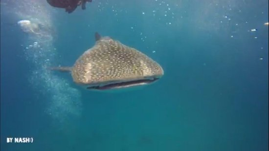 Al Mussanah, Omán: Whale Shark from the first dive