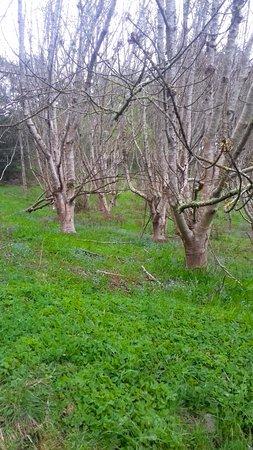 Olinda, Australien: Deciduous trees on the grassy slopes