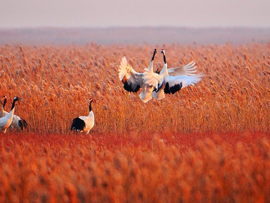 Jiangsu, China: Yancheng Protected Areas for Red-crowned Cranes