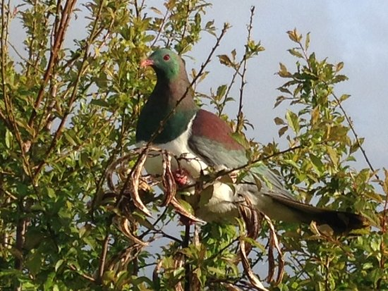 Akaroa TOP 10 Holiday Park: Kereru ( wood pigeon) visiting next to cabin. Minimum camera zoom on this one!!