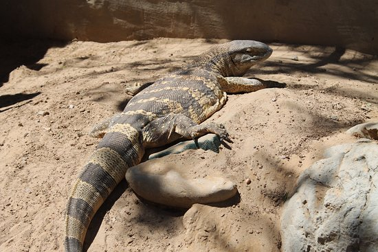 Addo, Sudáfrica: The rock monitor called Toothless