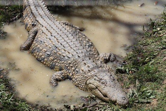 Addo, Sudáfrica: One of the two resident crocodiles