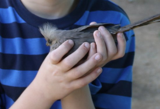 Addo, Republika Południowej Afryki: The tame mousebird being held in the aviary