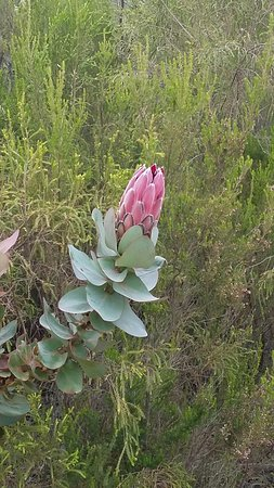 Van Stadens Nature Reserve: How beautiful is this protea growing in the reserve?