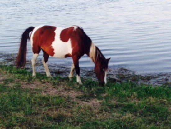 Dove Winds : Wild Chincoteague Pony munches marsh grass near Swan Cove
