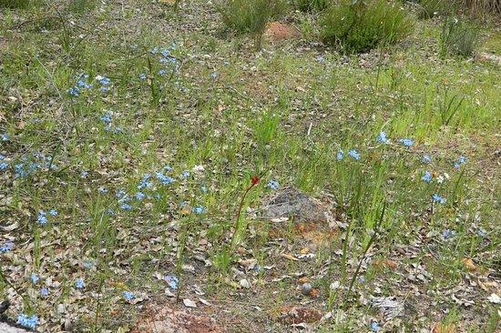 Kalamunda, Australië: Lechenaultia in Jorgensen Park