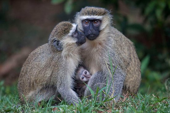 Masaka, Uganda: A family of vervet monkeys on the grounds