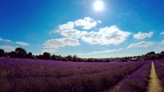 ‪Mayfield Lavender Farm‬