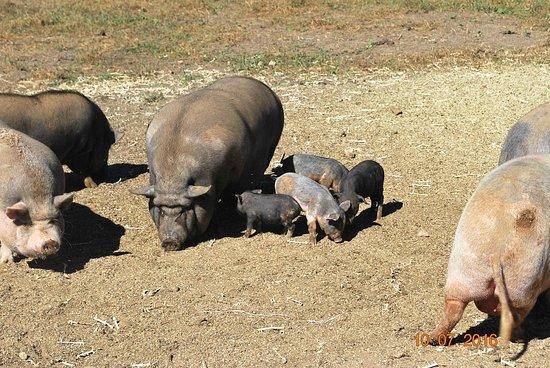 Foto de Where Pigs Fly Farm & Pigs Aloft Museum