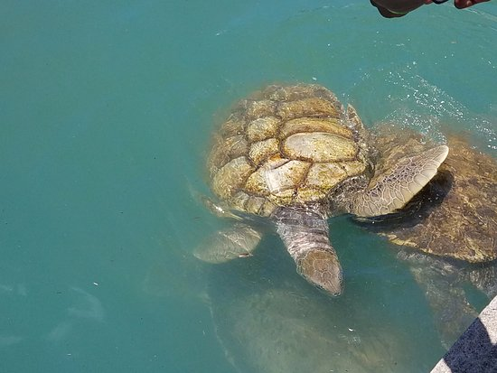 George Town, Grand Cayman: Turtle park
