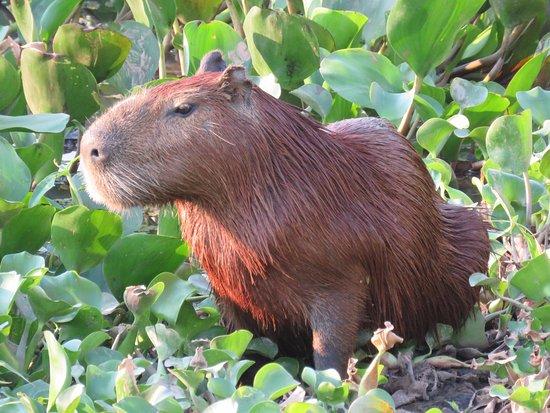 Caceres, MT: Capybara