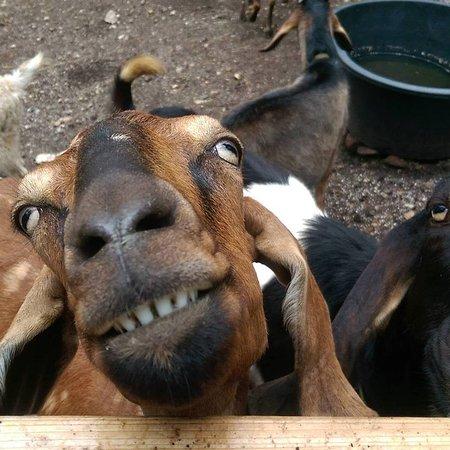 Sechelt, Kanada: the friendly freaky goats in the mini farm