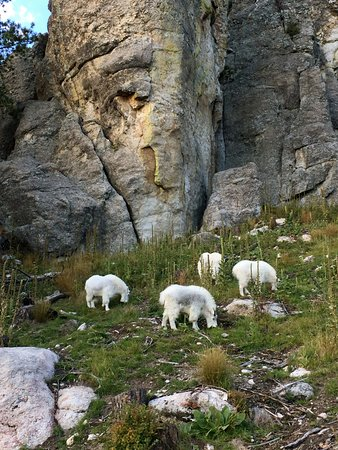 State Game Lodge: Mountain Goats along Needles HWY