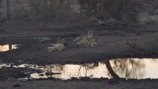 Londolozi Private Game Reserve, Sudafrica: Lazy lions lol.