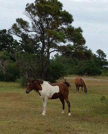 Assateague State Park Camping: Horses on Assateague Island