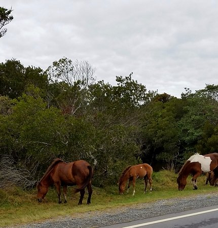 Assateague State Park Camping: Horses are everywhere! One of this year's foals in the middle.