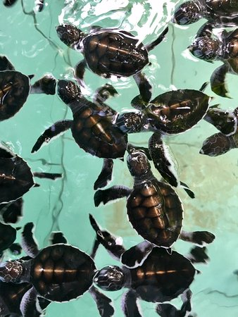 Derawan Islands, Ινδονησία: Dozens and dozens of turtle hatchlings about to be released.