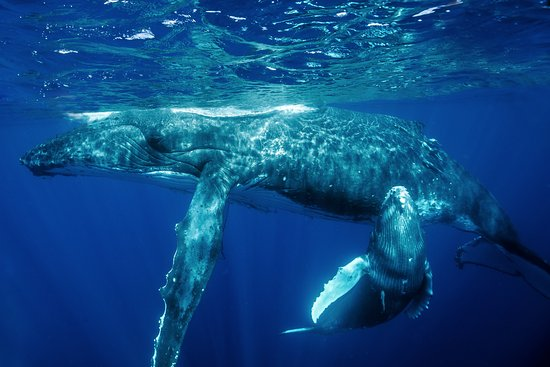 WhaleSwim Adventures: mother and calf