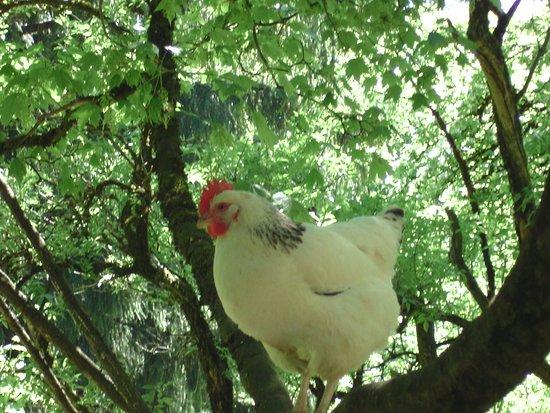 Upper Bavaria, เยอรมนี: auch den Hühnern gefällt es