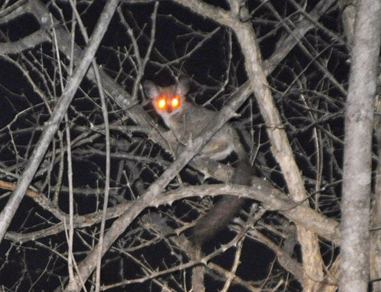 Muweti Bush Lodge: Bush Baby