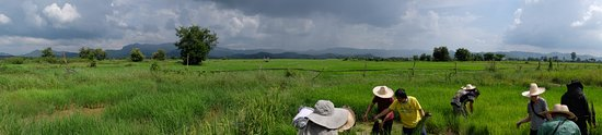 Lamphun, Thailand: Rice planting with locals in the countryside