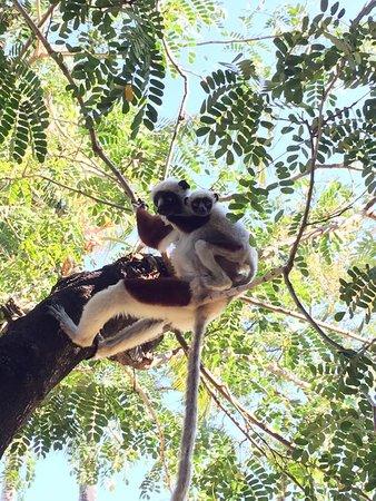 Anjajavy L'Hotel: Lemurs everywhere