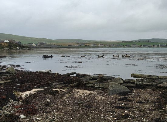 Pierowall, UK: seals at rest outside the B and b