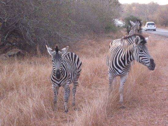 Nelspruit, South Africa: Zebras