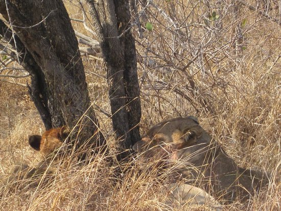 Nelspruit, South Africa: Lions eating