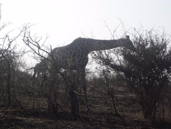 Nelspruit, South Africa: Giraff
