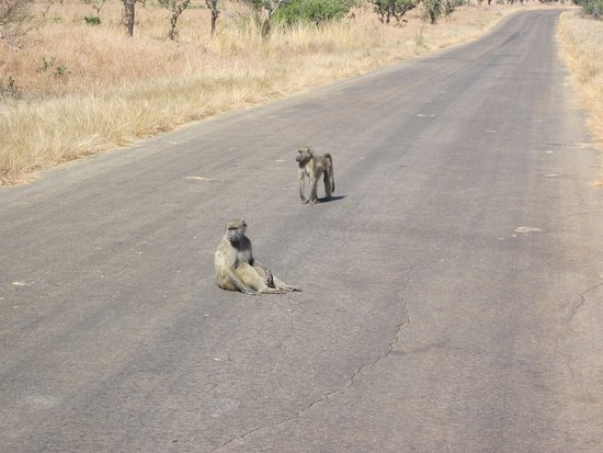Nelspruit, South Africa: Baboon