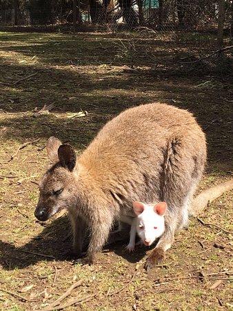 Seddon, Australië: Canguro con pargoletto