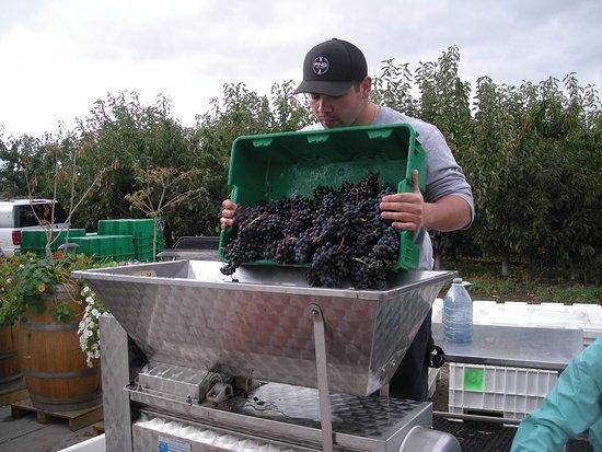 Summerland, Kanada: Harvest time- de-stemming the grapes