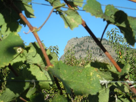 Саммерлэнд, Канада: Giant Head Mt, through the vines. The Winery was named after the mountain.