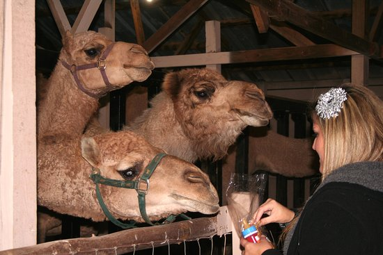 hollywild animal park feeding animals in the santas village barns during our holiday lights