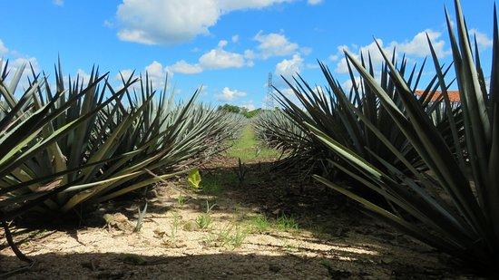 Destilería de Agave Tradicional Mayapán