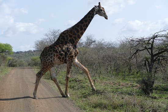 Zululand, Republika Południowej Afryki: pas op voor overstekende giraffen