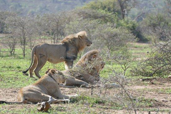 Zululand, Νότια Αφρική: familie leeuw op de uitkijk