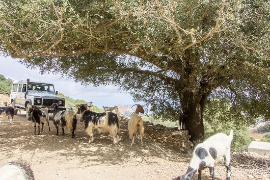 Malia, Grecia: Feed the goat(s) .... who are usually in the trees