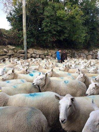 Sixmilebridge, Irland: Sheep farming @ Ballindaggin Co.Wexford