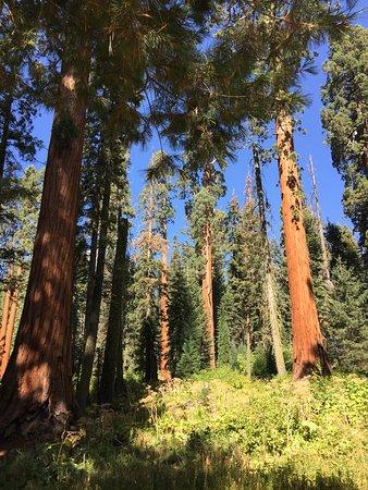 Three Rivers, Californië: eine Ansammlung der Mammutbäume