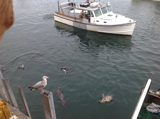 Chatham, MA: This seal obtained one of the dogfish.